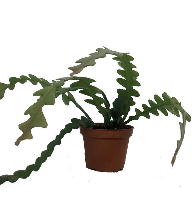 Cactus, Fishbone 4 in