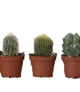 Cactus, Asst 4 in