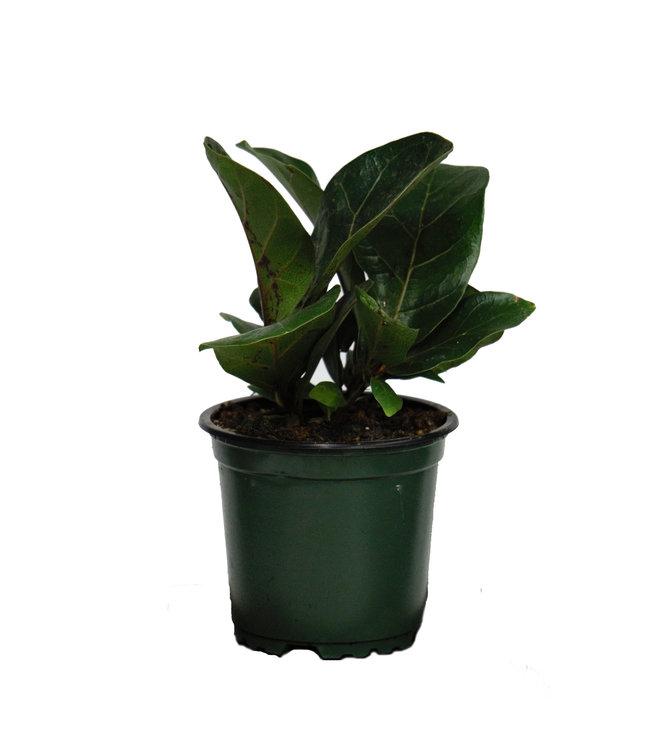 Ficus, Fiddle Leaf, 4 in