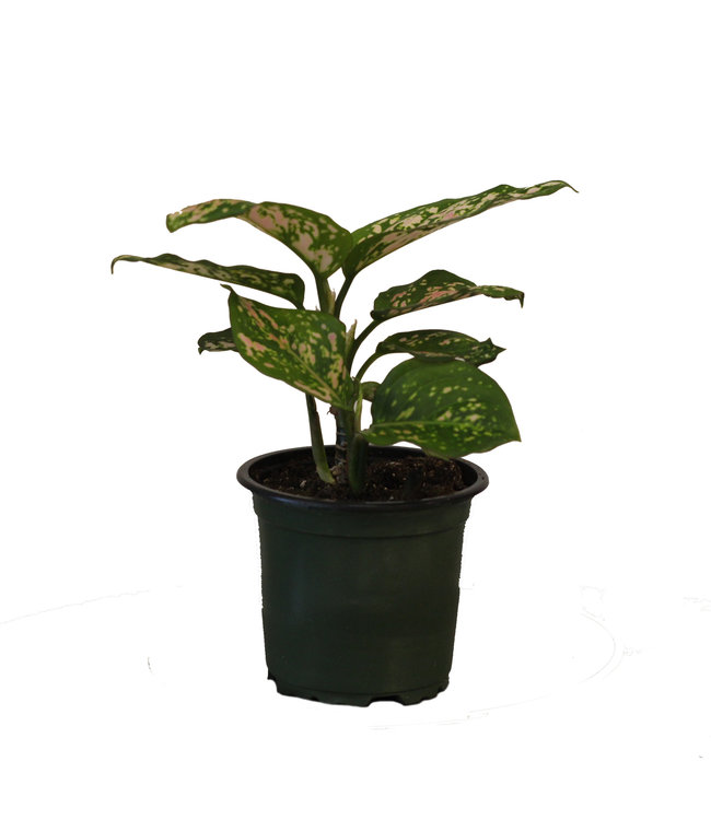 Chinese Evergreen, 4 in