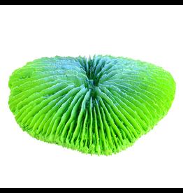 UNDERWATER TREASURES (D) Plate Coral - Green - Mini
