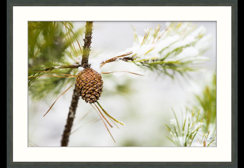 Prints Pine Cone