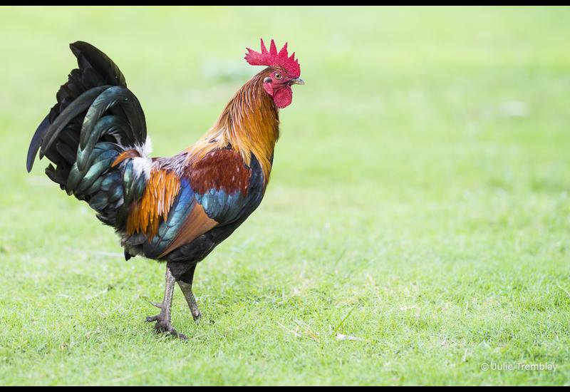 Hawaii Rooster