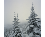 Snow Trees 1