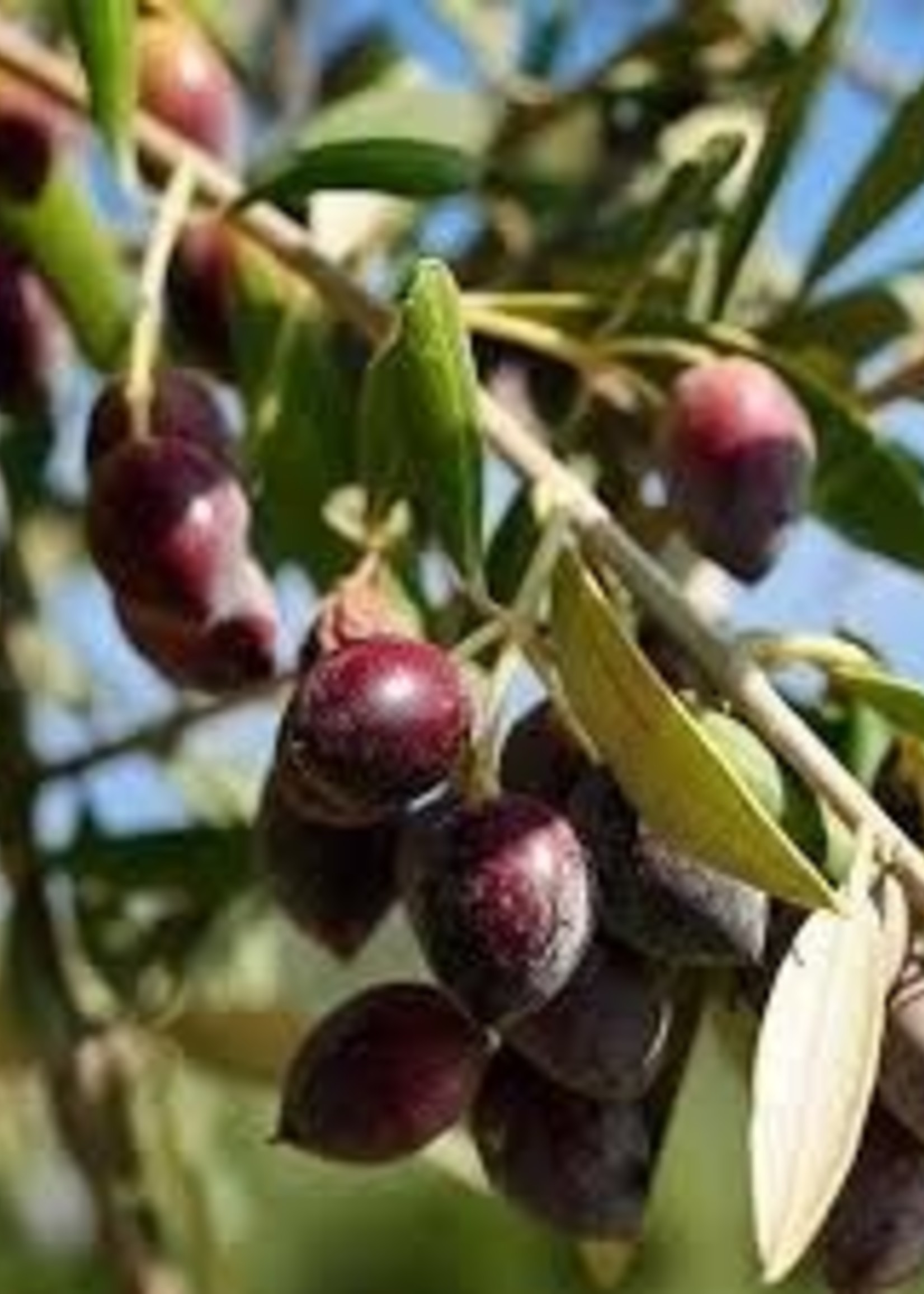 Olive Us IOO219 Chilean Koroneiki (Robust) Crush Date: June, 2021