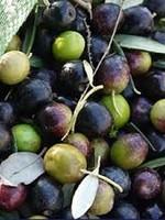 Olive Us IOO273 Hojiblanca Mild (Australia) Crush Date: May 2021