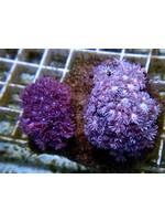 Indo Goniopora Coral  WYSIWYG