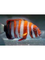 Wrasse Harlequin Tuskfish