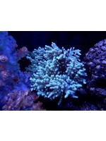 Leather coral Kupang Finger Leather Coral  WYSIWYG
