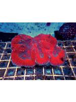 Symphyllia Indo Symphyllia Coral  WYSIWYG
