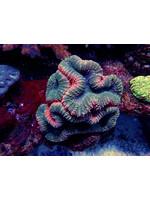 Lobo Indo Lobo Coral  WYSIWYG
