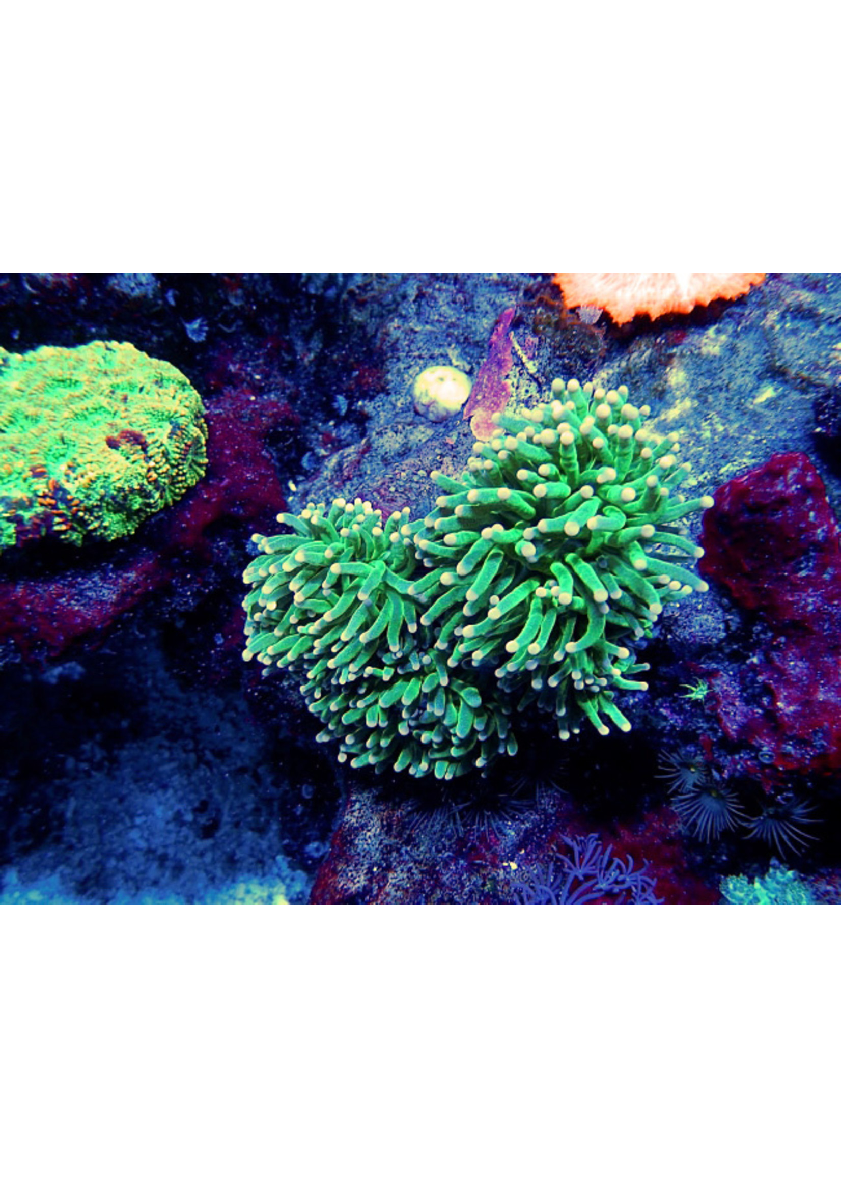 Indo Pink Tip Torch Coral  WYSIWYG
