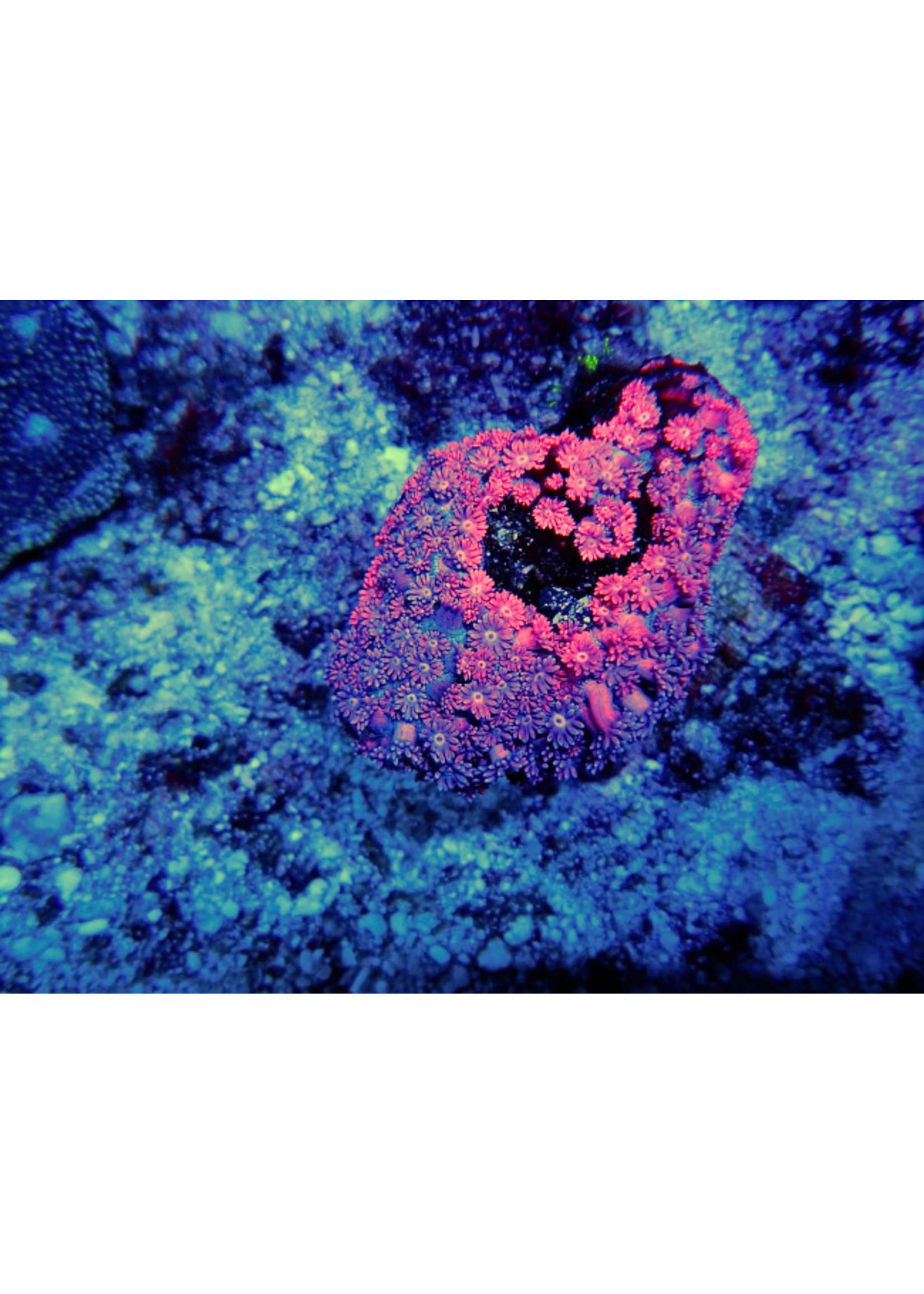 Goniopora Indo Goniopora Coral  WYSIWYG