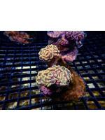 Hammer Indo Branching Hammer Coral  WYSIWYG