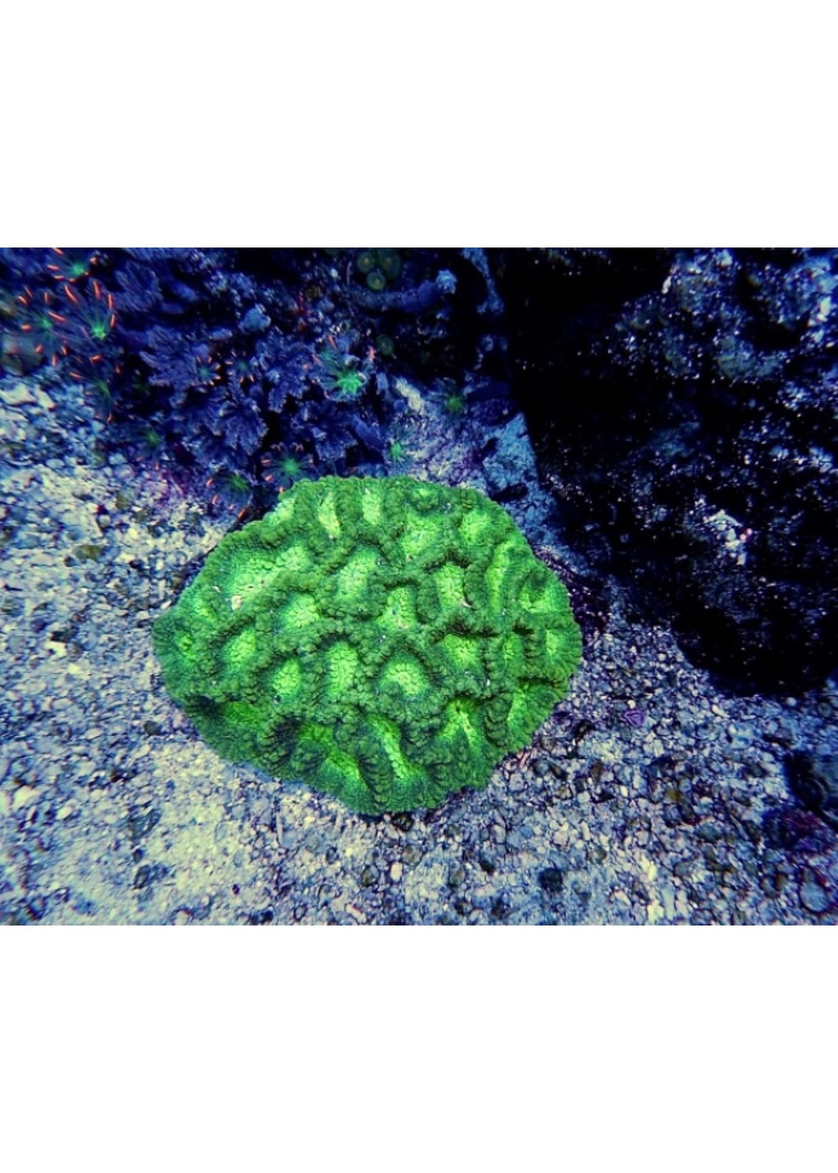 Acan Australian Acan Echinata Coral  WYSIWYG