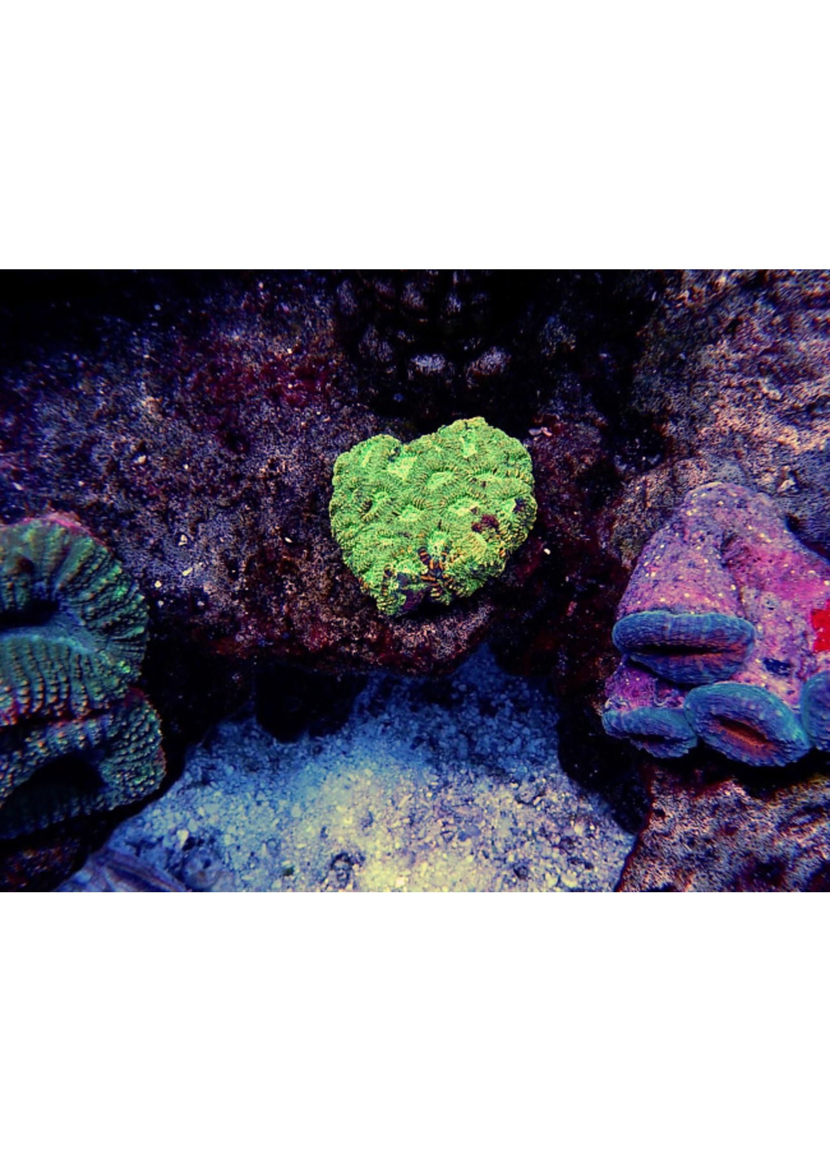 Favia Australian Favia Coral  WYSIWYG