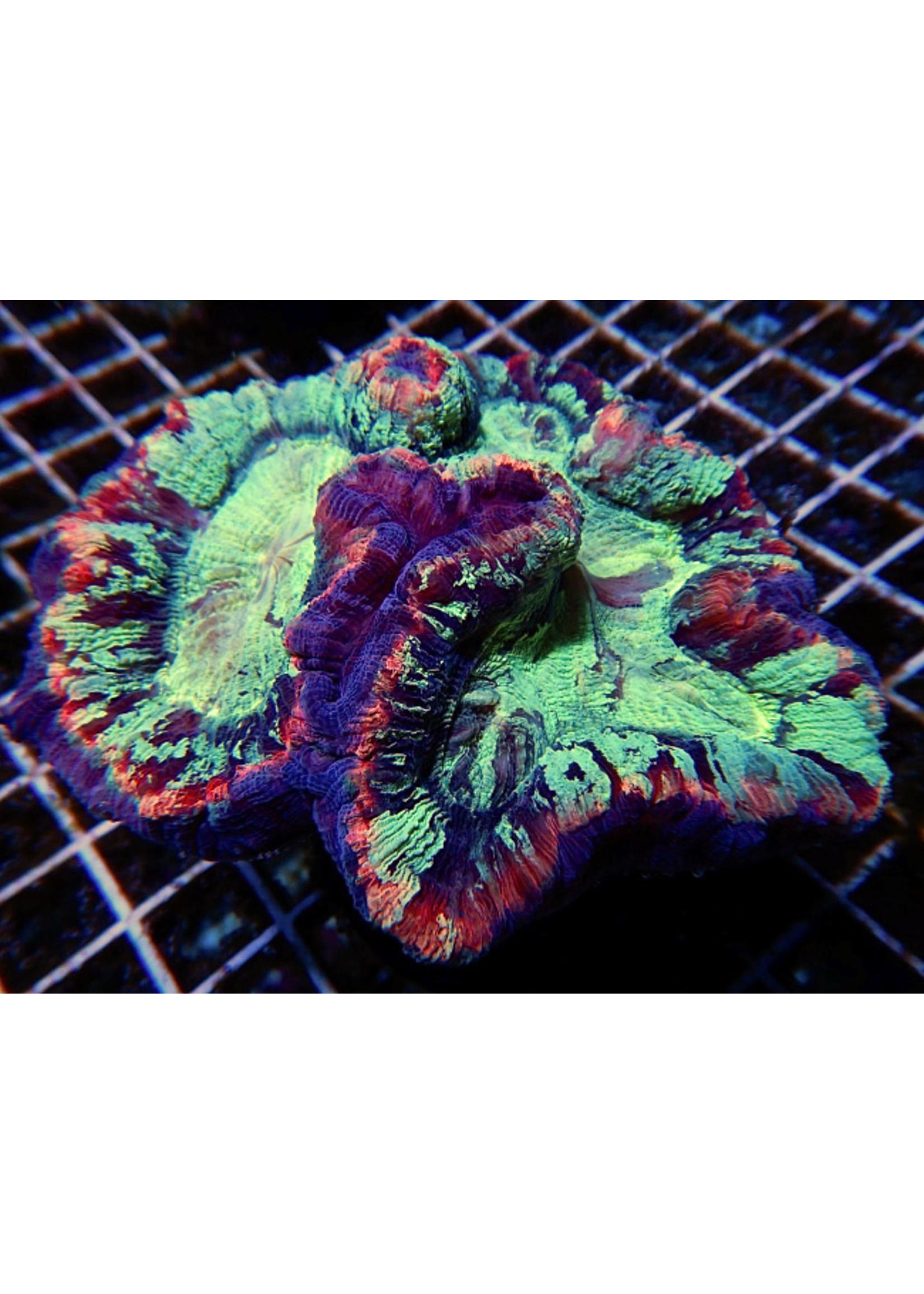 Trachy Indo Trachy Coral  WYSIWYG