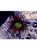 Anemone Tube Anemone  WYSIWYG