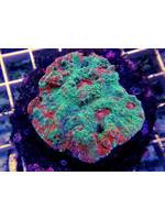 Chalice Indo Chalice Coral  WYSIWYG
