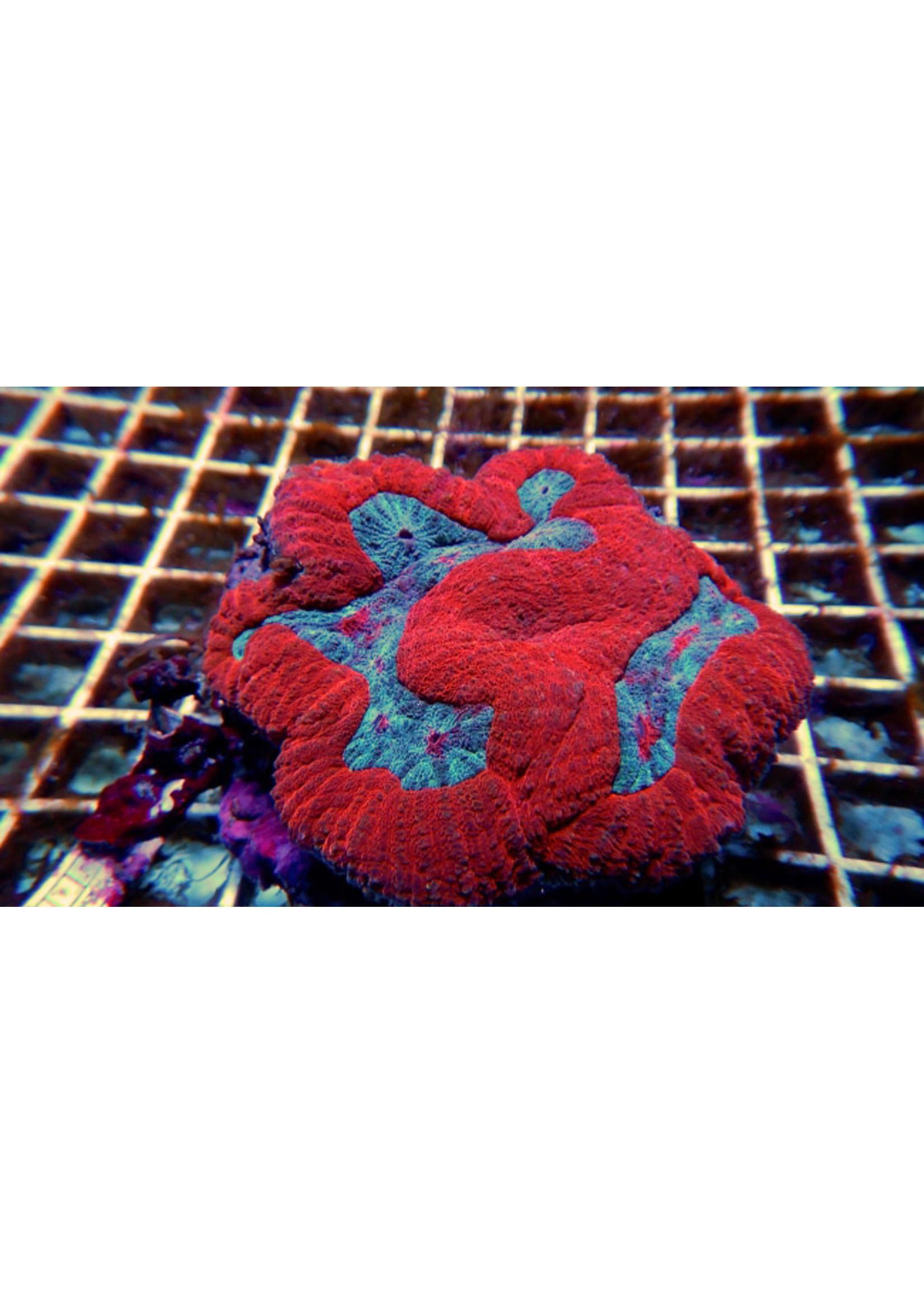 Symphyllia Kupang Symphyllia Coral  WYSIWYG