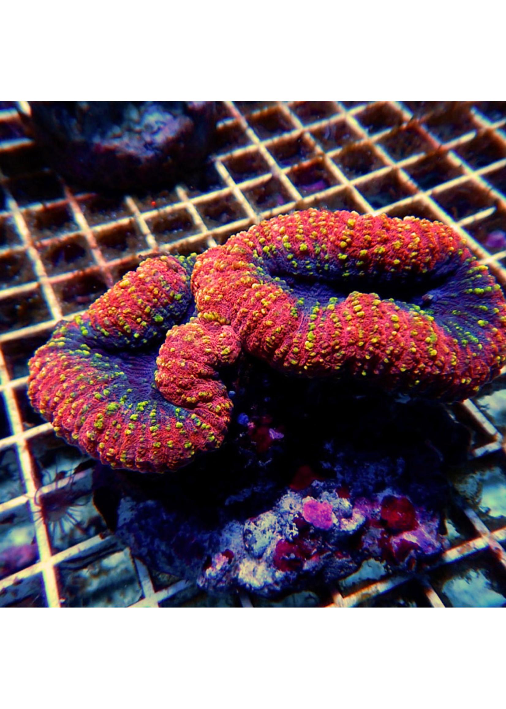 Lobo Kupang Lobo Coral  WYSIWYG