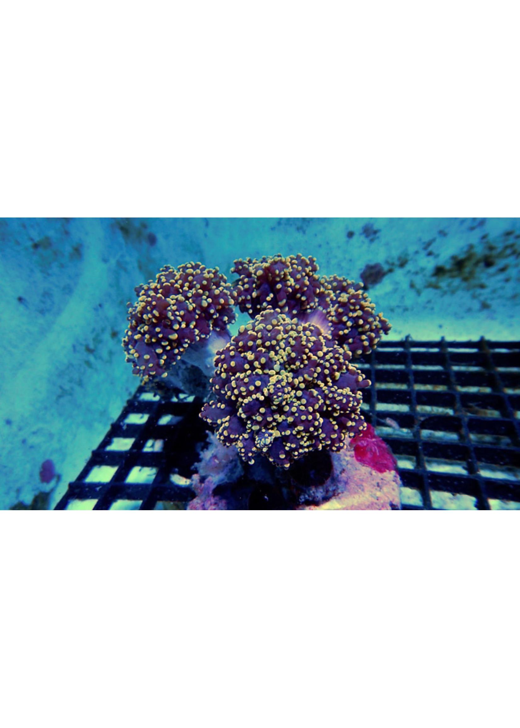 Octospawn Kupang Orange Tip Octospawn Coral  WYSIWYG