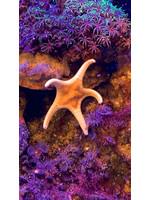 Starfish Double Star Starfish  WYSIWYG