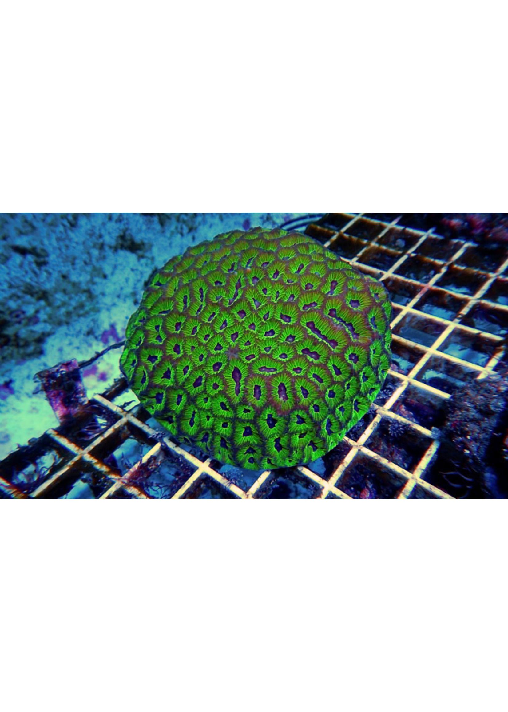 Favia Indo Favia Coral  WYSIWYG