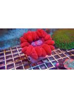 Meat coral Kupang Cynarina Coral  WYSIWYG