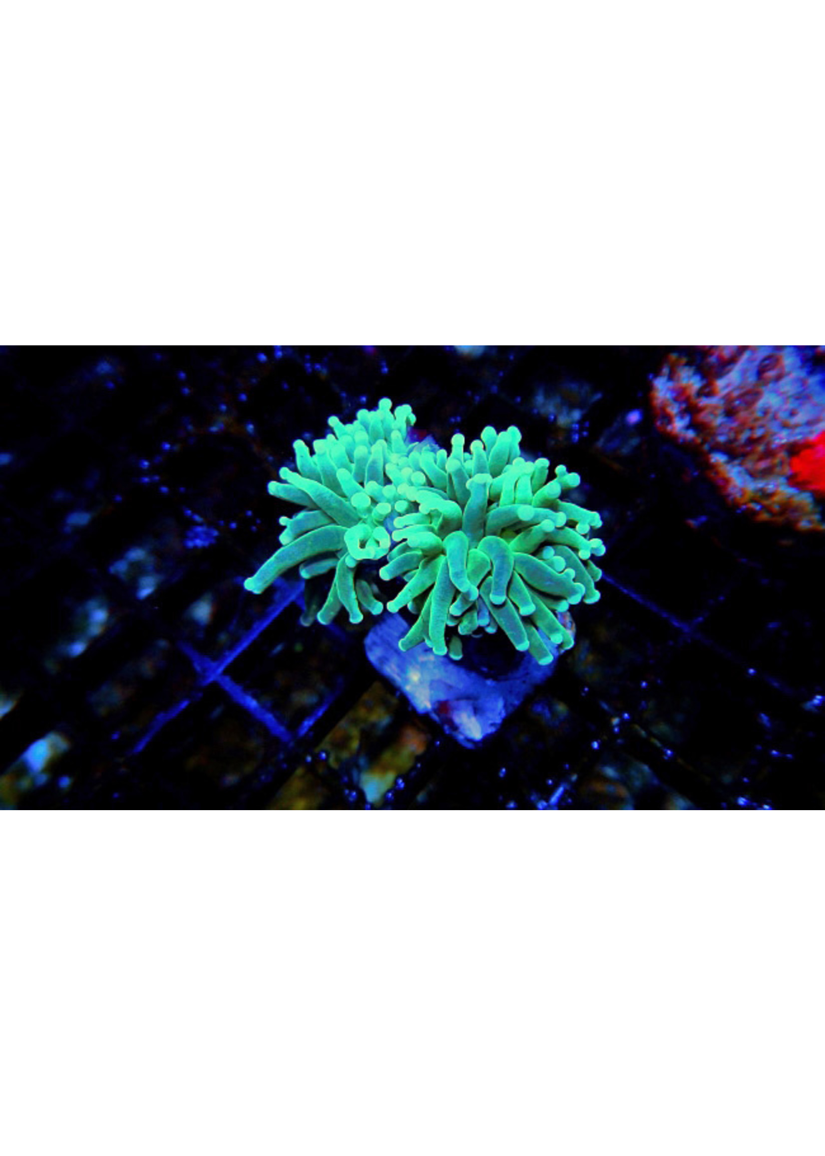 Torch Kupang Green Tip Torch Coral  WYSIWYG