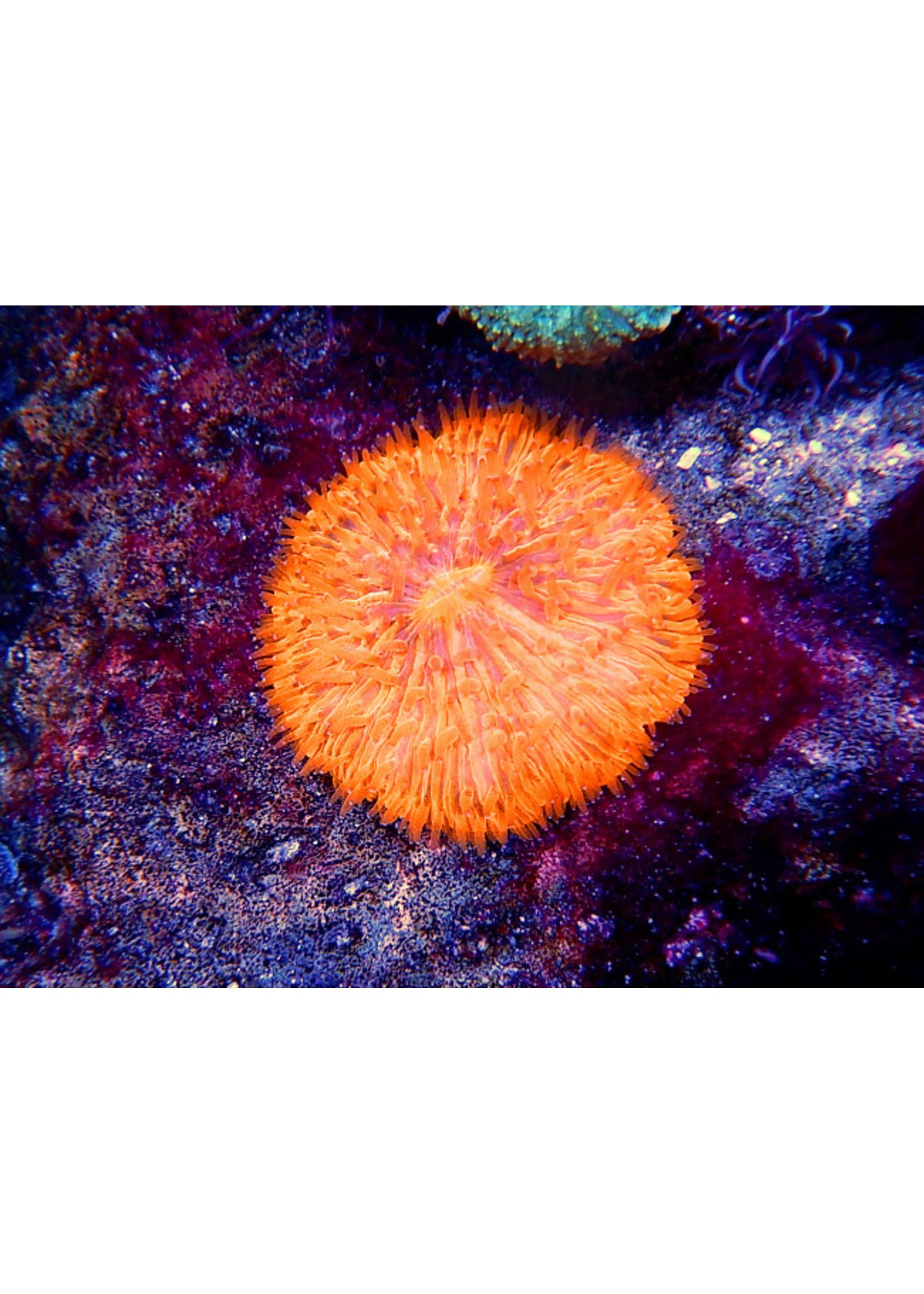 Plate Coral Kupang Plate Coral  WYSIWYG