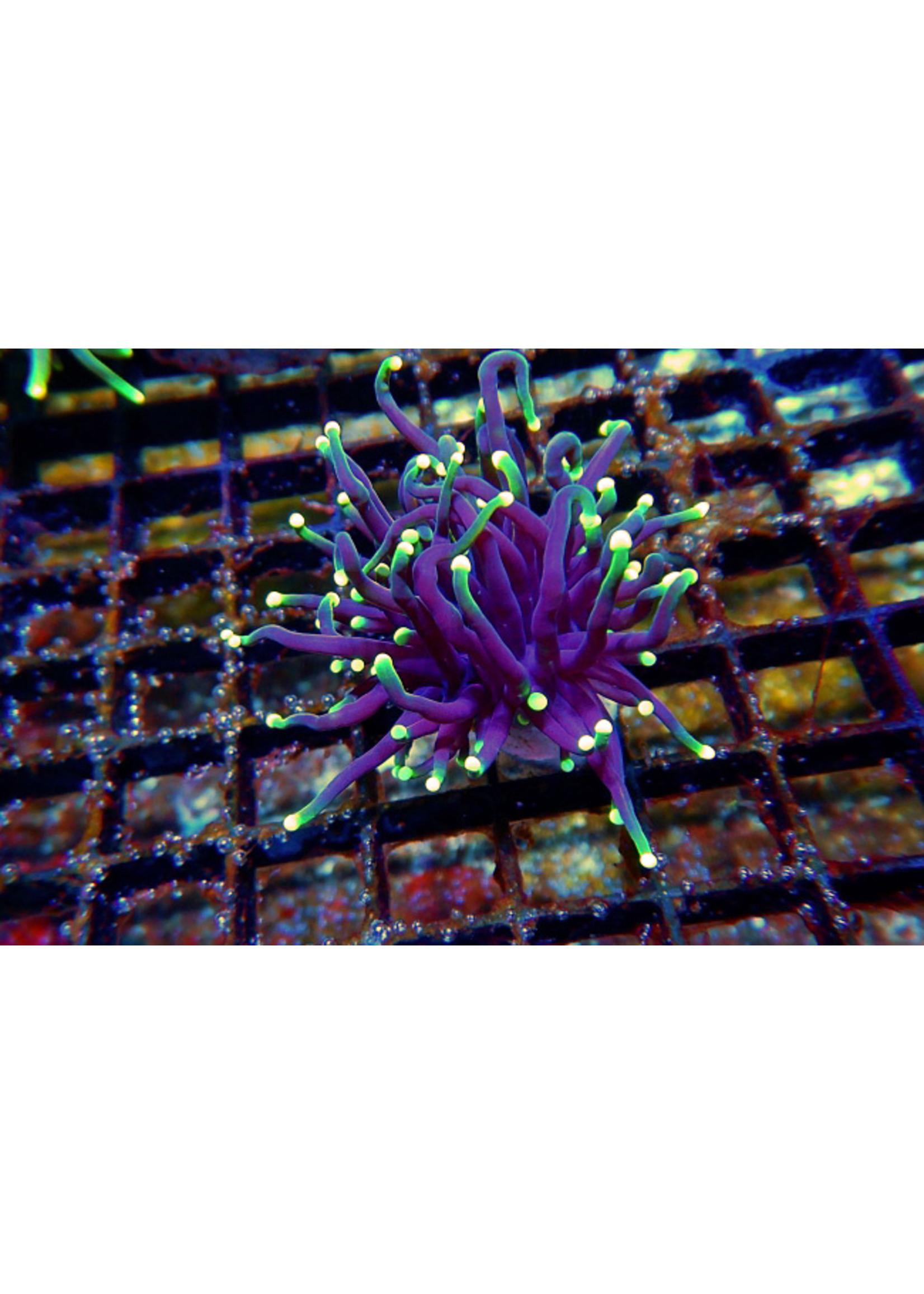 Torch Kupang Torch Coral  WYSIWYG