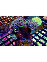 Hammer Kupang Branching Hammer Coral  WYSIWYG