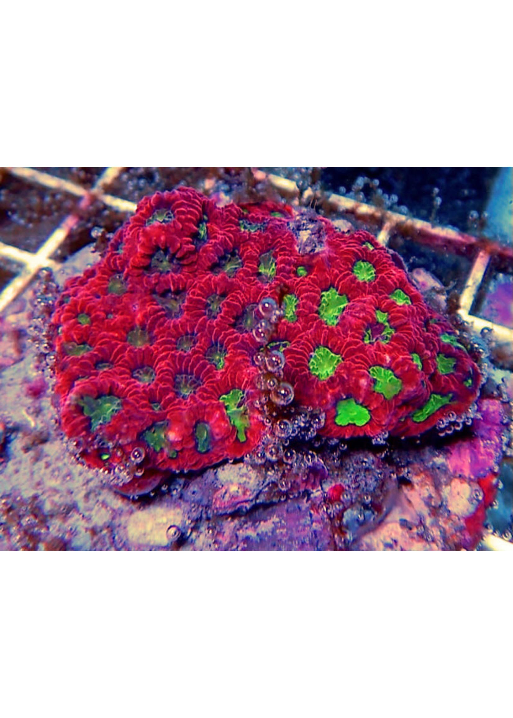Chalice Kupang Chalice Coral  WYSIWYG