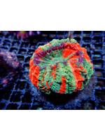 Meat coral Kupang Acanthophyllia Coral  WYSIWYG