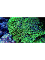 Polyps Indo Green Star Polyp  WYSIWYG