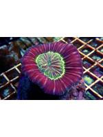 Trachy Kupang Trachy Coral  WYSIWYG