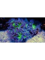 Elegance Kupang Elegance Coral  WYSIWYG