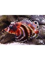 Lion fish Fu Manchu lion fish