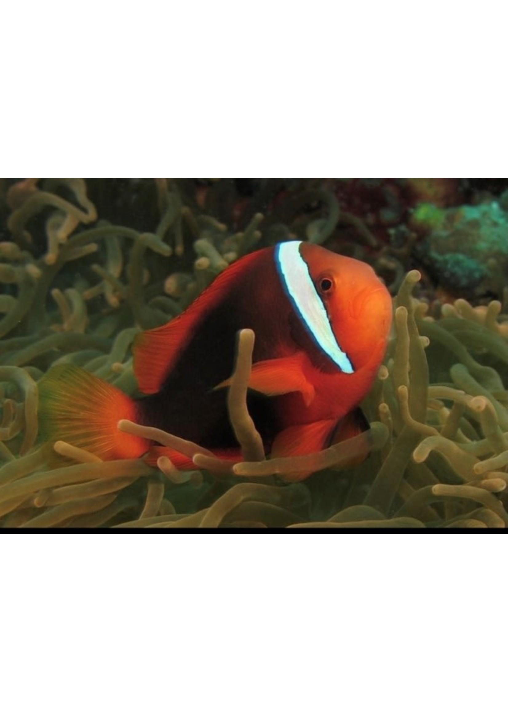 Clownfish Tomato Clownfish
