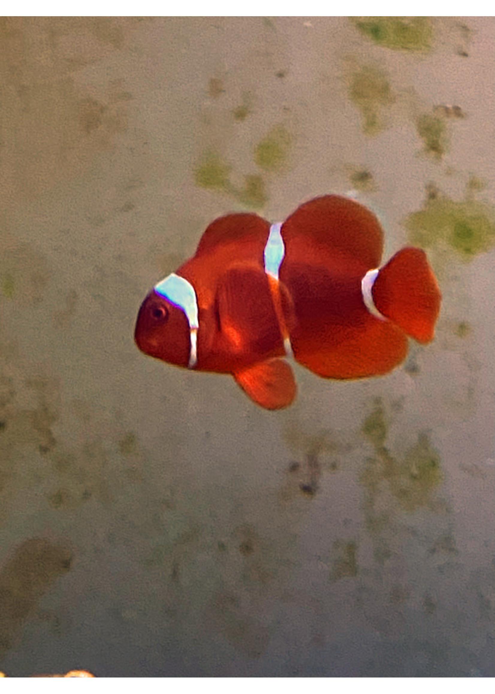 Clownfish Bi color Maroon Clownfish