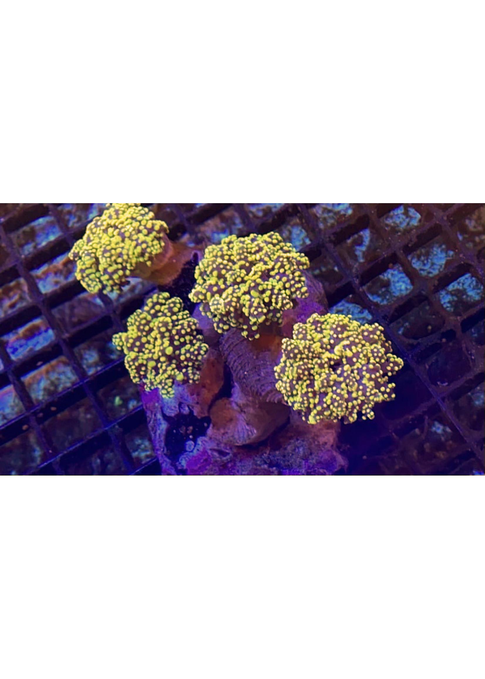 Frogspawn Kupang Frogspawn Coral  WYSIWYG