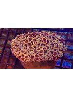 Hammer Kupang Hammer Coral  WYSIWYG