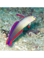 Goby Flame Goby