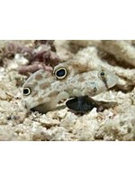 Goby Twinspot Goby
