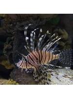Lionfish Black Volitan Lionfish