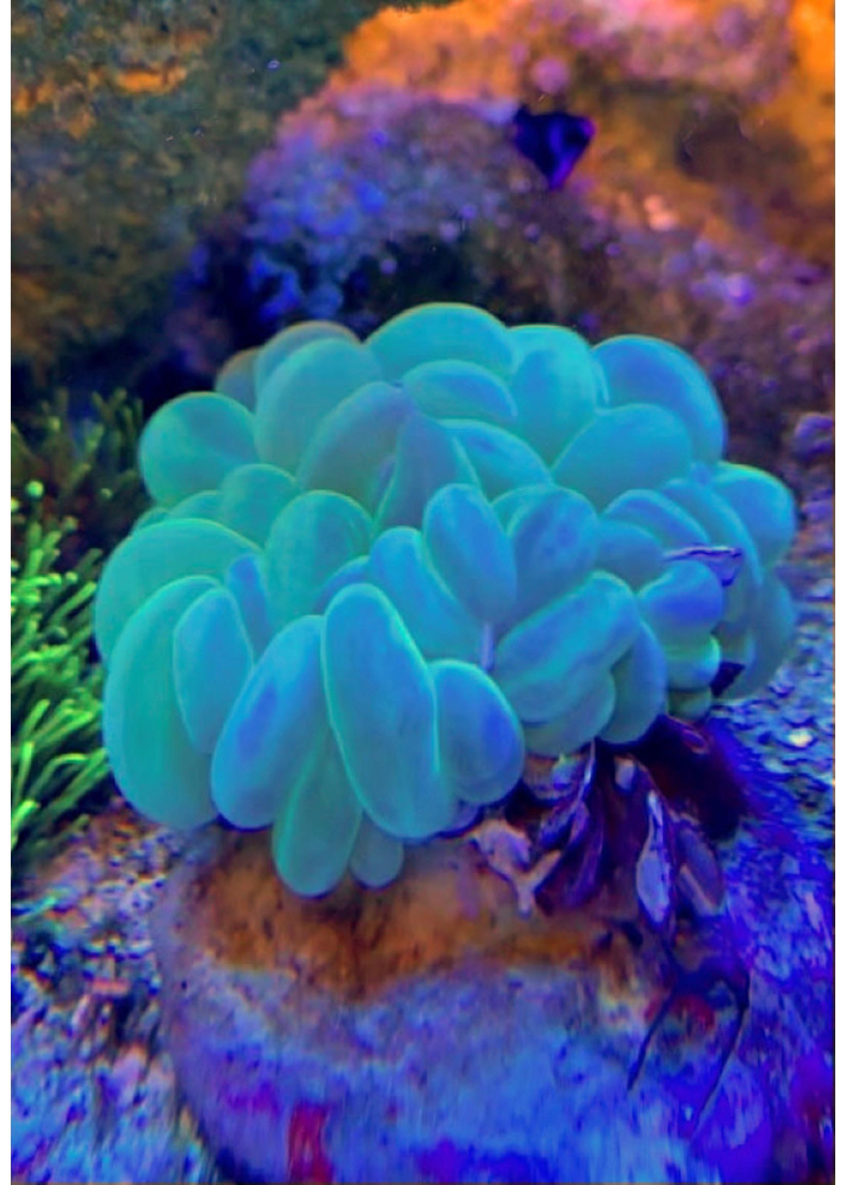 Kupang Bubble Coral  WYSIWYG