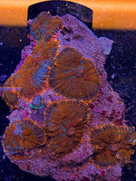 Mushrooms Indonesian Super Metalic Mushroom Rock  WYSIWYG