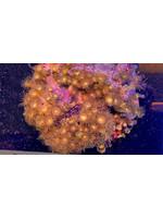 Palithoa Indonesian Metallic Golden Sea Palithoa Colony  WYSIWYG