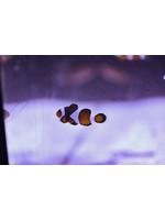 Clownfish Bi Color Percula Clownfish